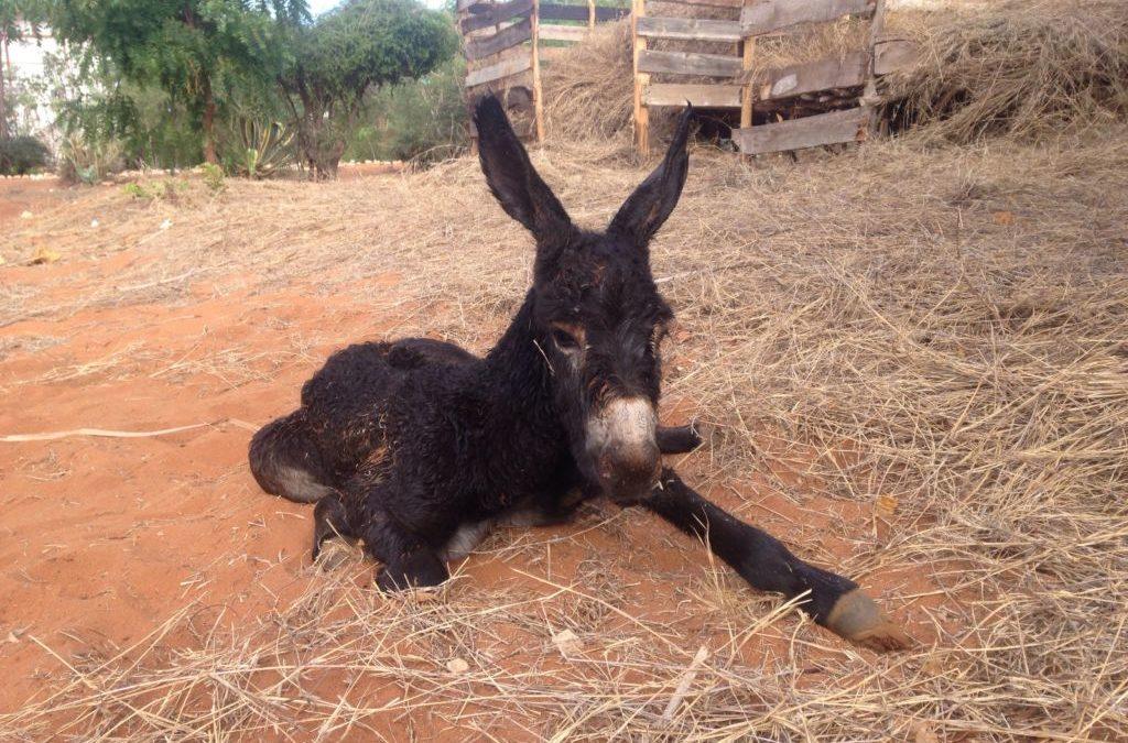 Bienvenido a nuestro nuevo burro «Bonne Année» a este 2017