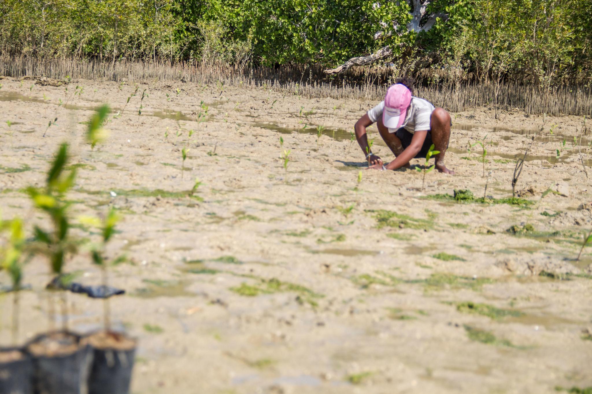 Reboisement-Mangrove