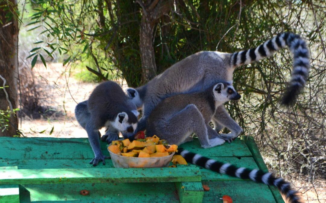 Nuestra familia de lemures recibe a un nuevo integrante